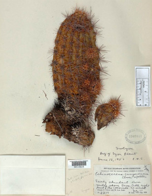 Grand Canyon claret cup specimen collected by Clover and held by the Smithsonian Institution.