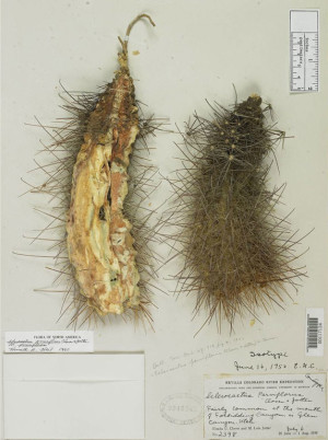 Small flower fishhook cactus specimen collected by Clover and held by the Smithsonian Institution.