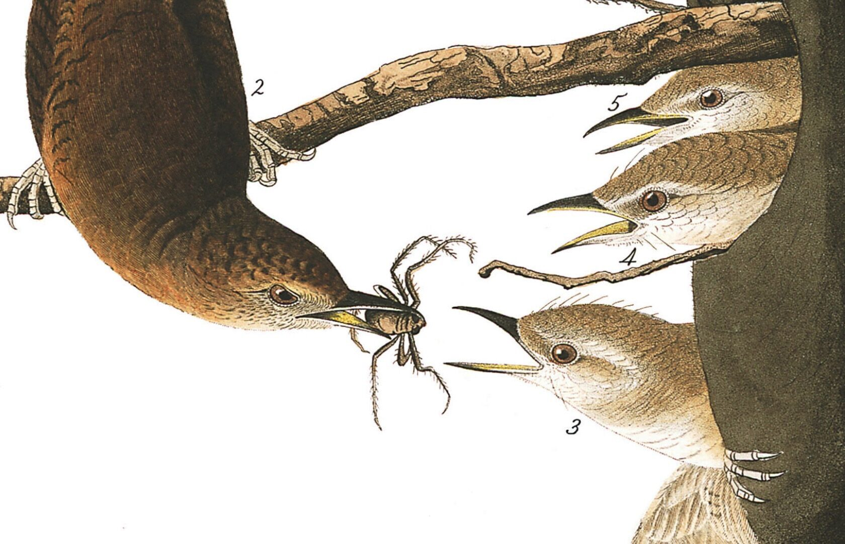 Even the common house wren became a figure of drama for Audubon, who showed a mother feeding a spider to her eager young.